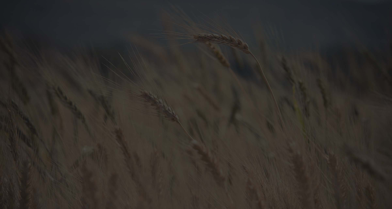 Fond de blé